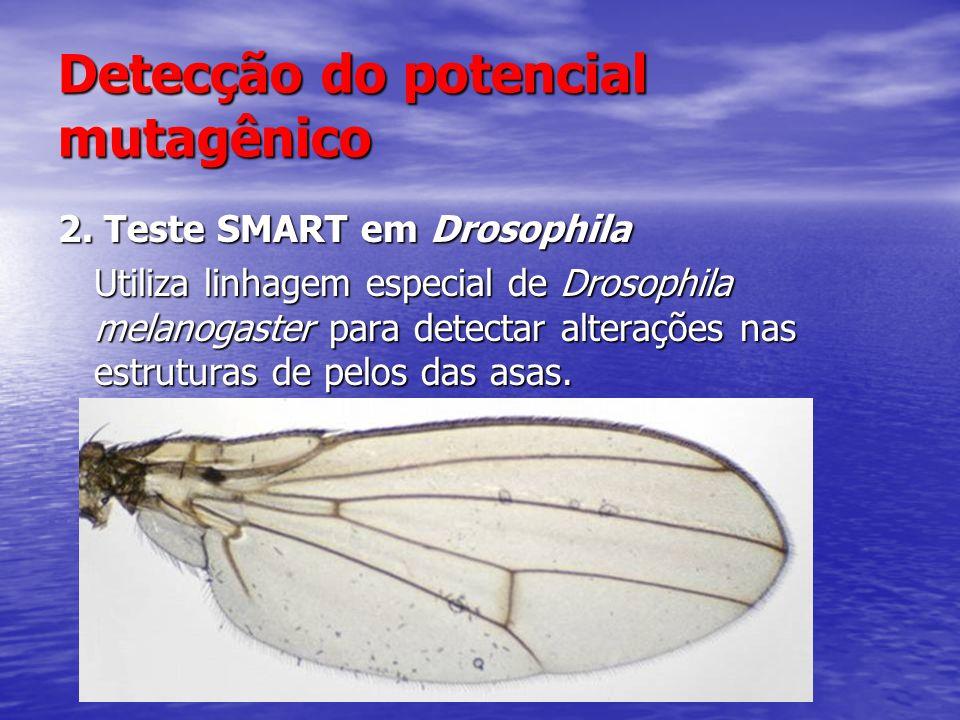 Detecção do potencial mutagênico 2. Teste SMART em Drosophila Utiliza linhagem especial de Drosophila melanogaster para detectar alterações nas estrut