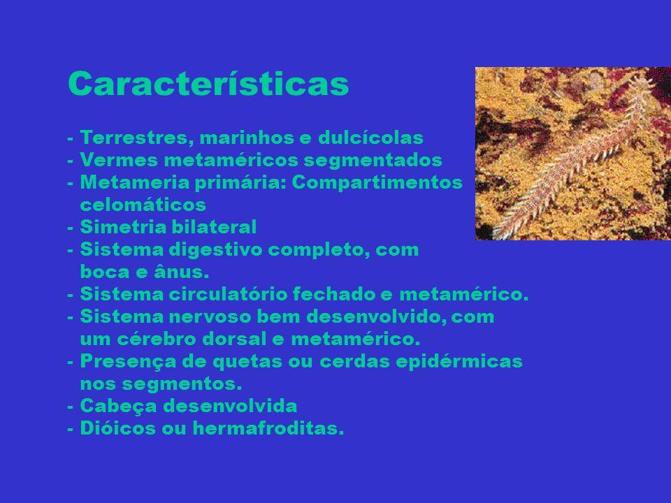 Características - Terrestres, marinhos e dulcícolas - Vermes metaméricos segmentados - Metameria primária: Compartimentos celomáticos - Simetria bilat