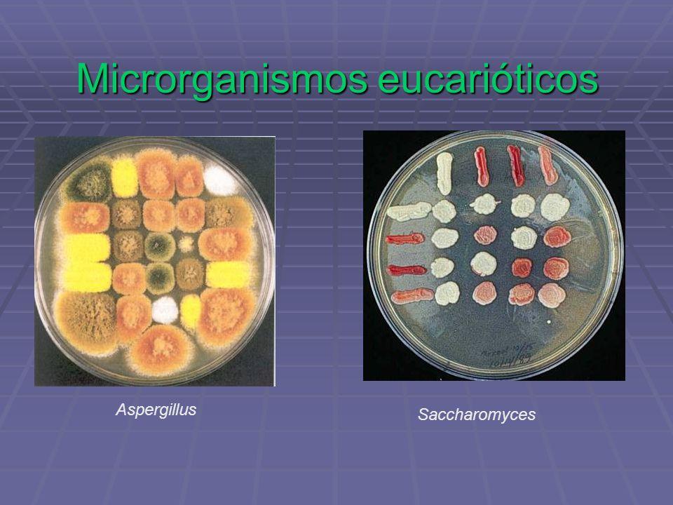 Microrganismos eucarióticos Aspergillus Saccharomyces