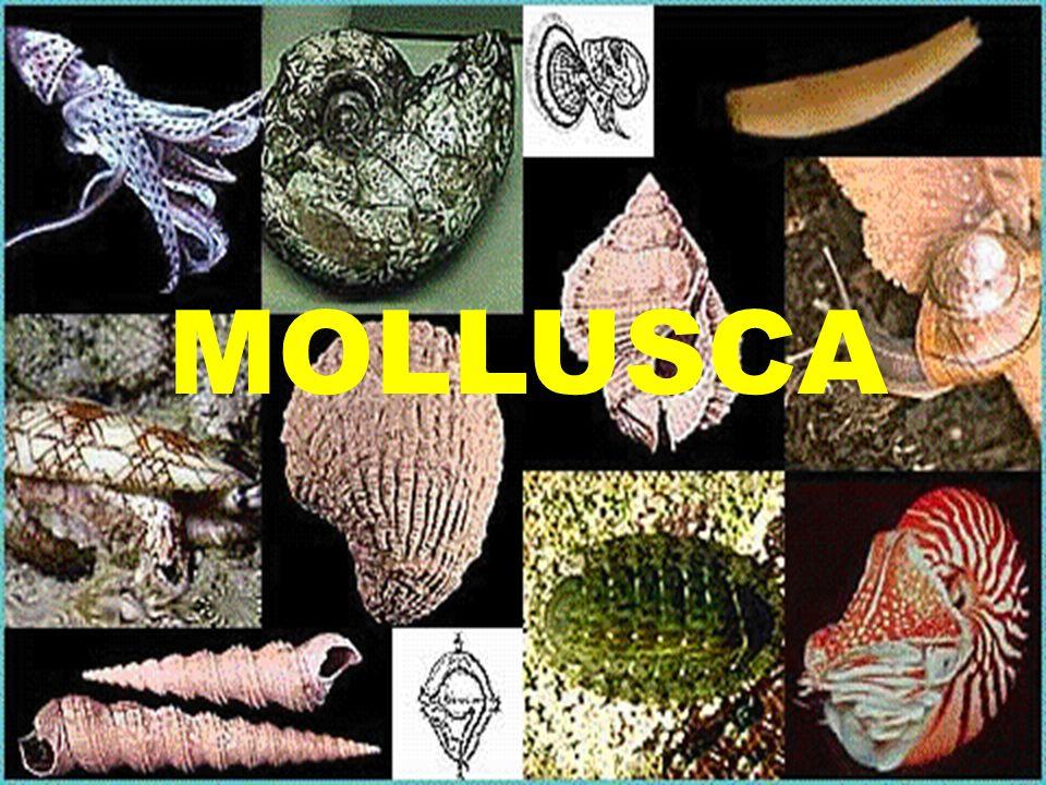 Características - 100000 espécies estimadas (35000 fósseis) - Livres, marinhos, dulcícolas e terrestres, arborícolas, epibiontes, incrustantes e parasitas.