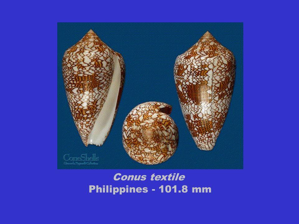 Conus textile Philippines - 101.8 mm