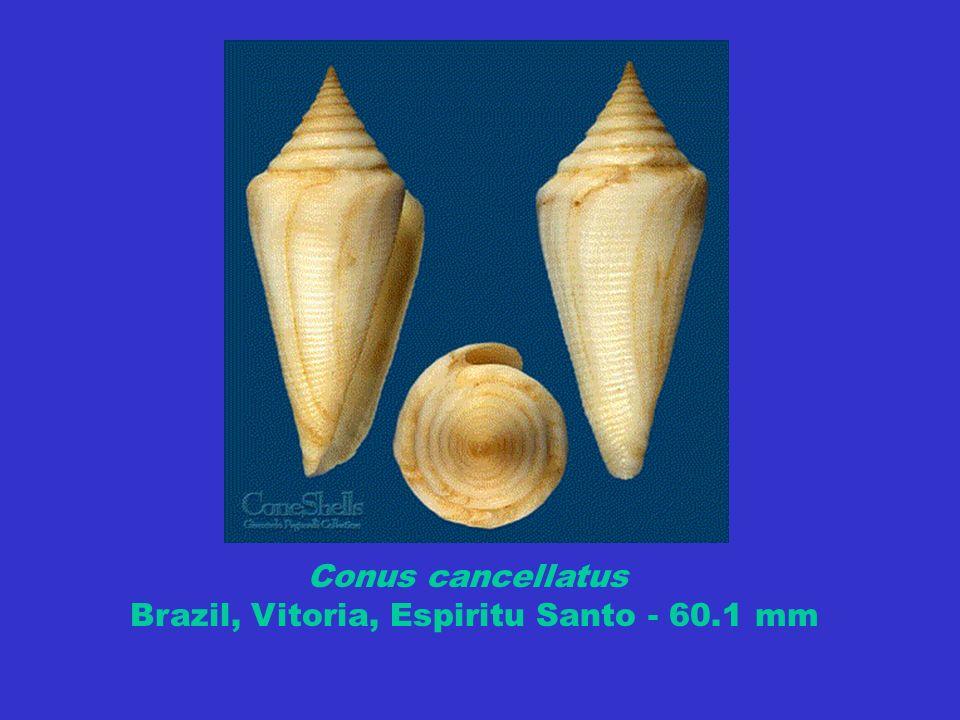 Conus cancellatus Brazil, Vitoria, Espiritu Santo - 60.1 mm