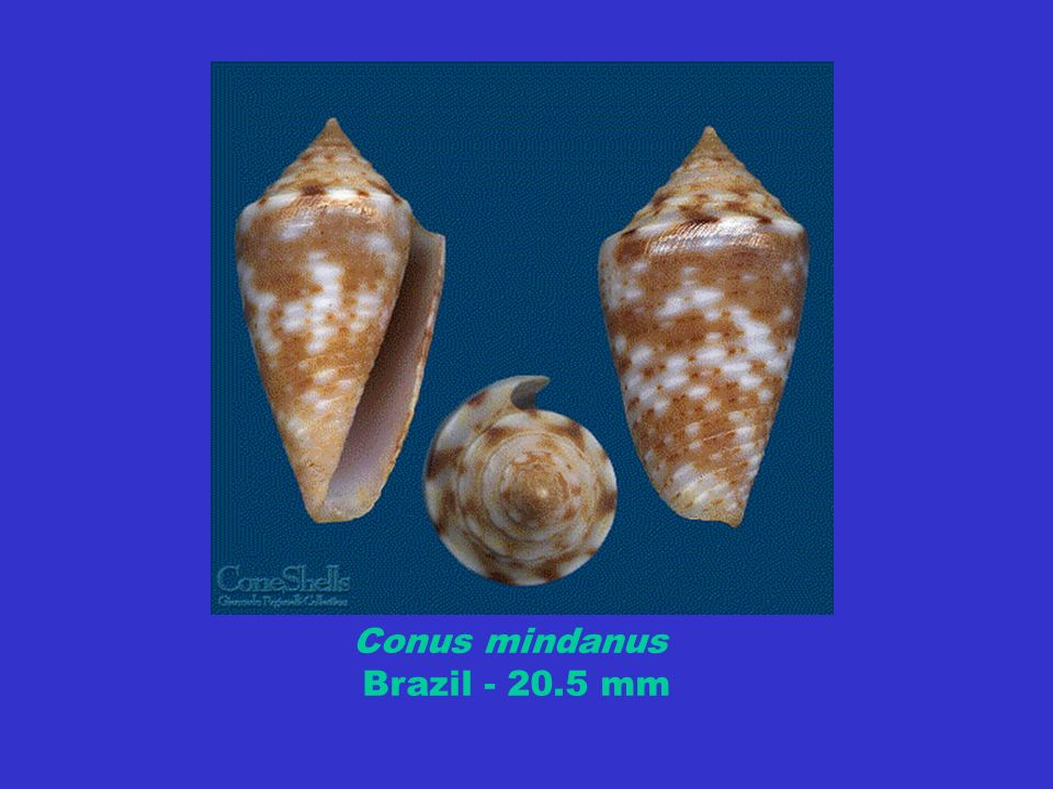 Conus mindanus Brazil - 20.5 mm