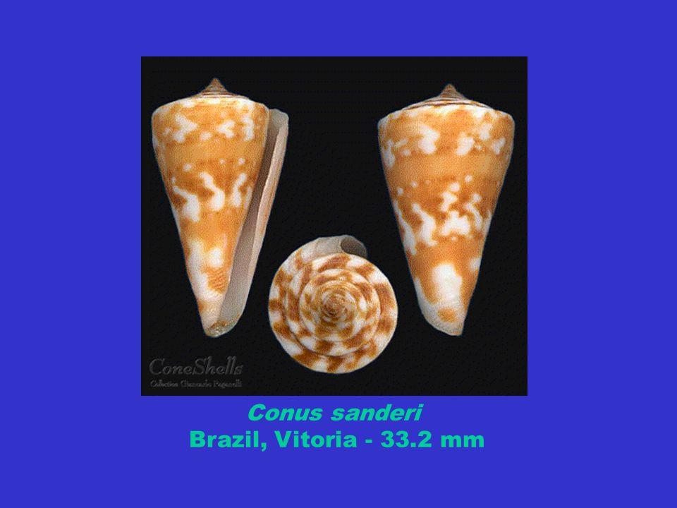 Conus sanderi Brazil, Vitoria - 33.2 mm
