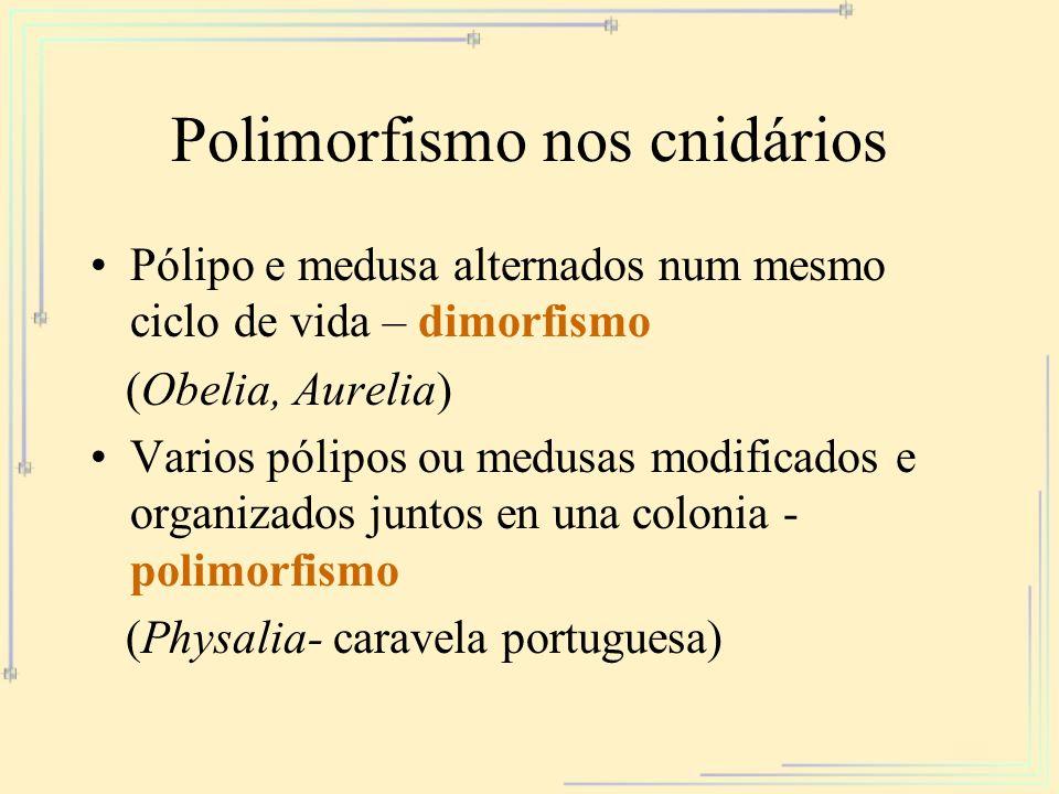 Polimorfismo nos cnidários Pólipo e medusa alternados num mesmo ciclo de vida – dimorfismo (Obelia, Aurelia) Varios pólipos ou medusas modificados e o