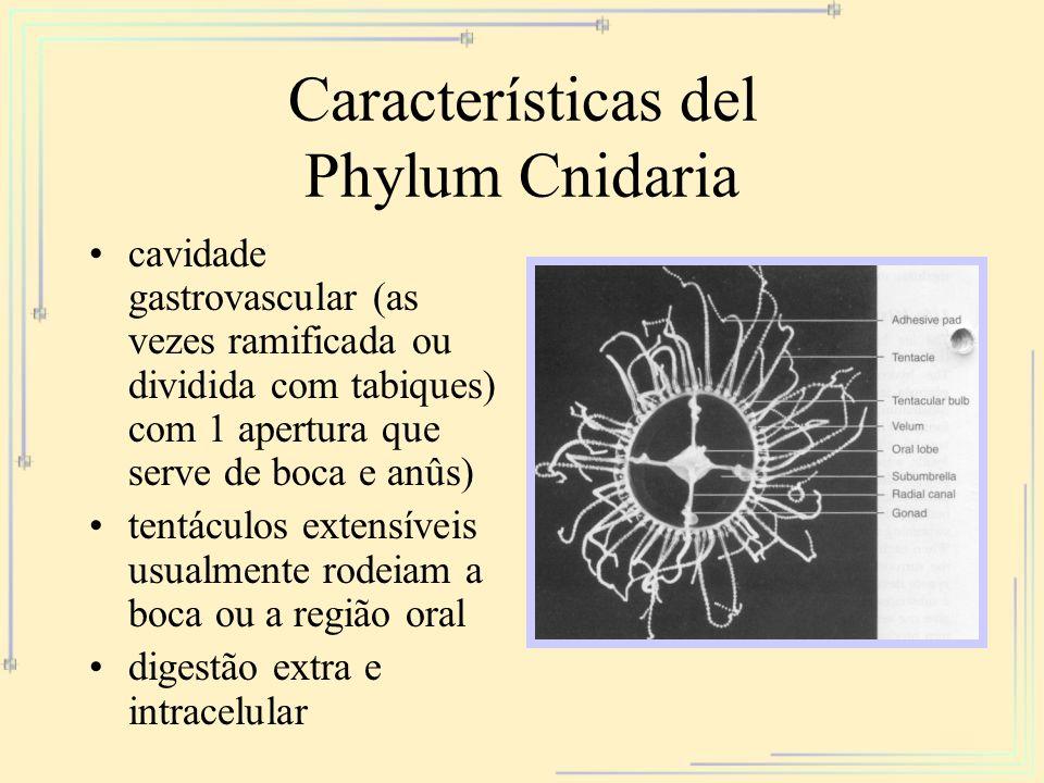Características del Phylum Cnidaria cavidade gastrovascular (as vezes ramificada ou dividida com tabiques) com 1 apertura que serve de boca e anûs) te