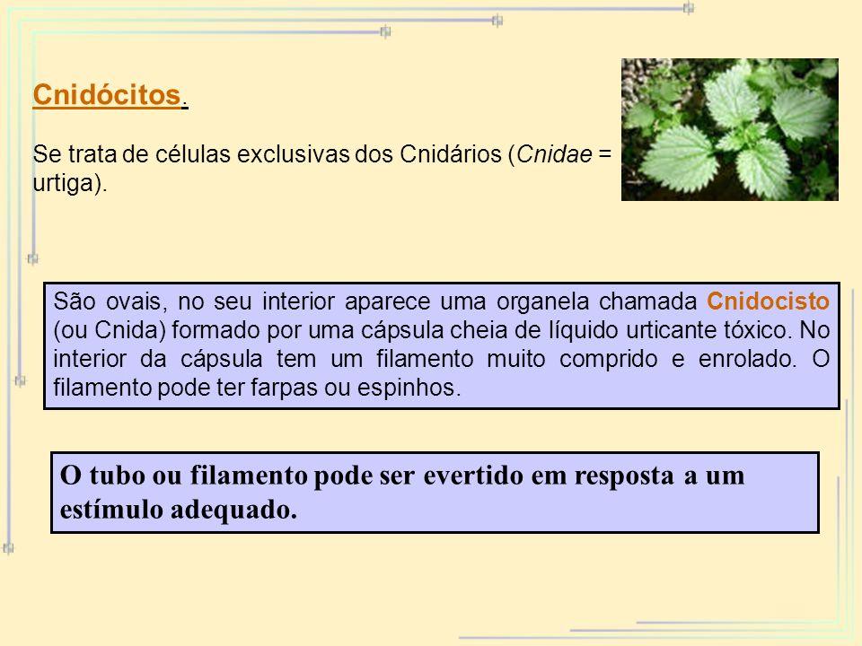 Cnidócitos. Se trata de células exclusivas dos Cnidários (Cnidae = urtiga). São ovais, no seu interior aparece uma organela chamada Cnidocisto (ou Cni