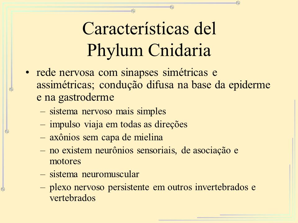 Características del Phylum Cnidaria rede nervosa com sinapses simétricas e assimétricas; condução difusa na base da epiderme e na gastroderme –sistema