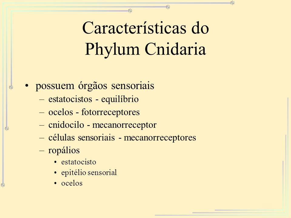 Características do Phylum Cnidaria possuem órgãos sensoriais –estatocistos - equilíbrio –ocelos - fotorreceptores –cnidocilo - mecanorreceptor –célula