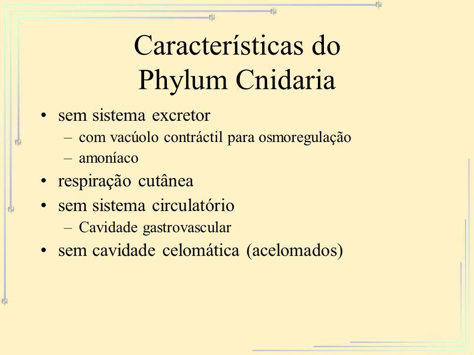 Características do Phylum Cnidaria sem sistema excretor –com vacúolo contráctil para osmoregulação –amoníaco respiração cutânea sem sistema circulatór