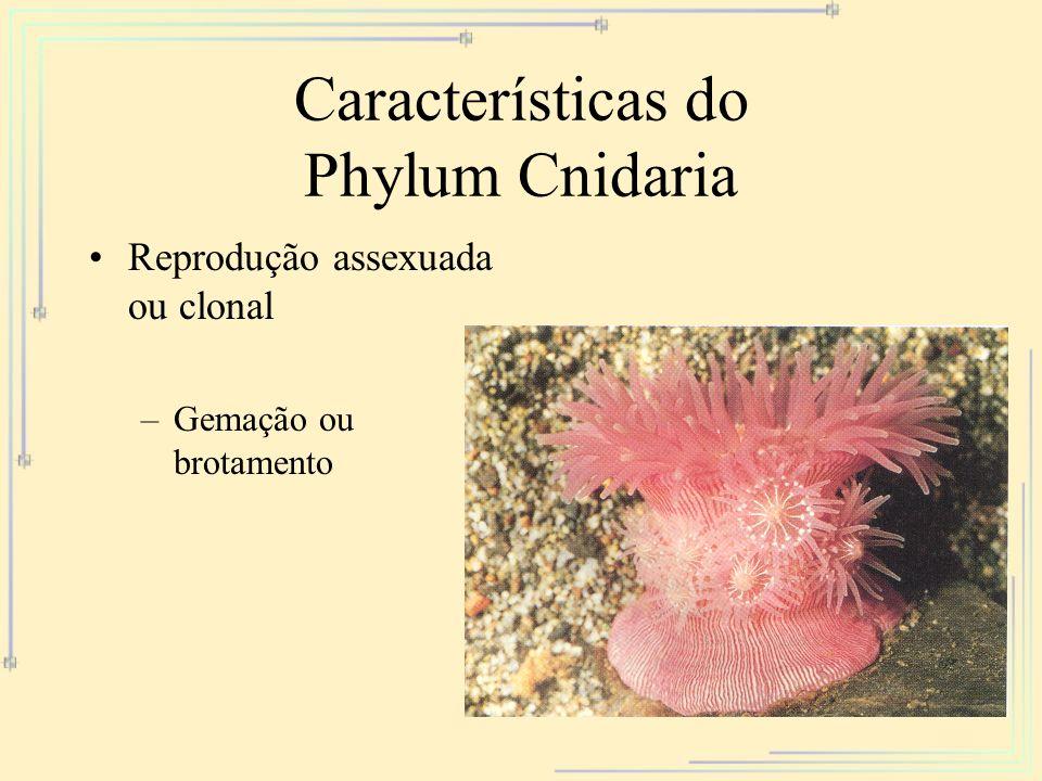 Características do Phylum Cnidaria Reprodução assexuada ou clonal –Gemação ou brotamento