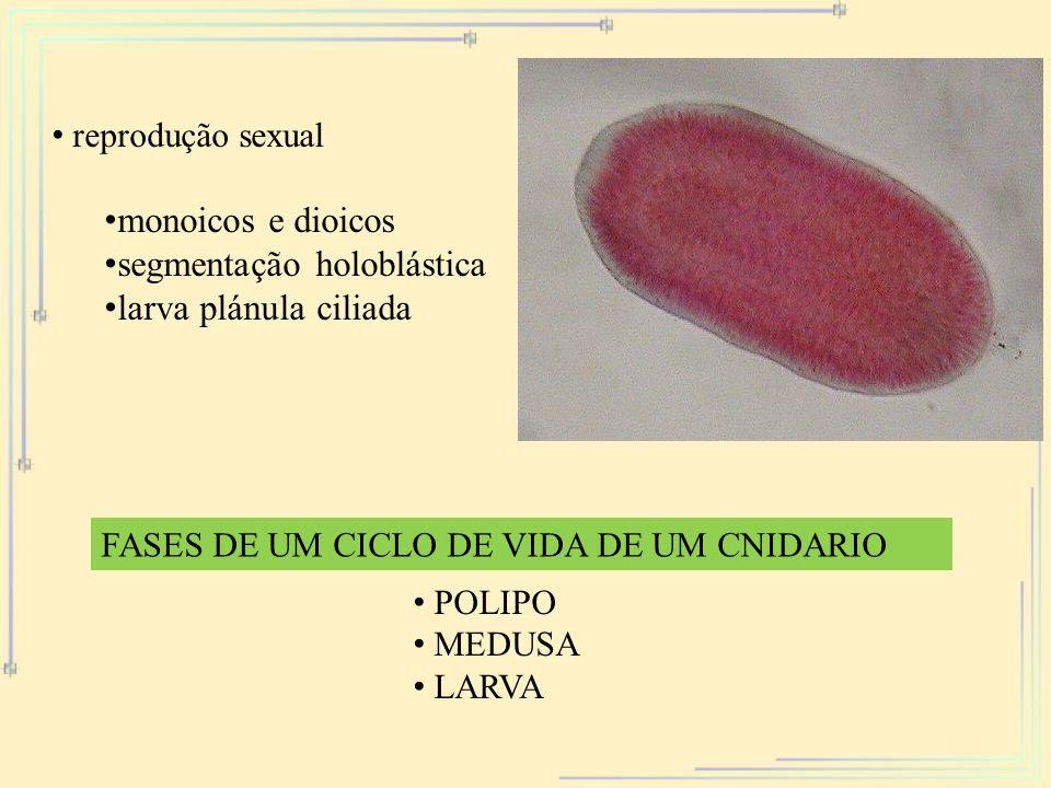 reprodução sexual monoicos e dioicos segmentação holoblástica larva plánula ciliada FASES DE UM CICLO DE VIDA DE UM CNIDARIO POLIPO MEDUSA LARVA