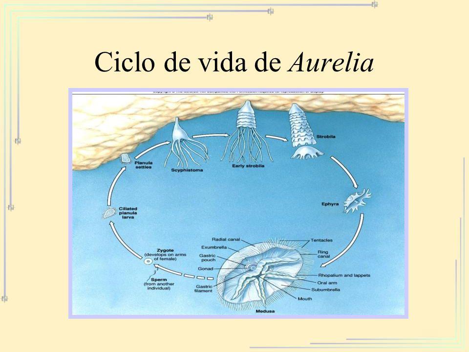 Ciclo de vida de Aurelia