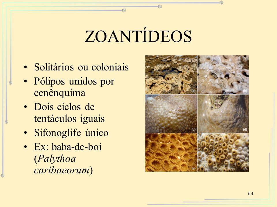 64 ZOANTÍDEOS Solitários ou coloniais Pólipos unidos por cenênquima Dois ciclos de tentáculos iguais Sifonoglife único Ex: baba-de-boi (Palythoa carib
