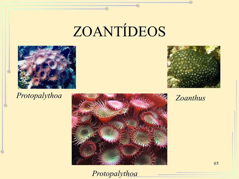 65 ZOANTÍDEOS Protopalythoa Zoanthus Protopalythoa