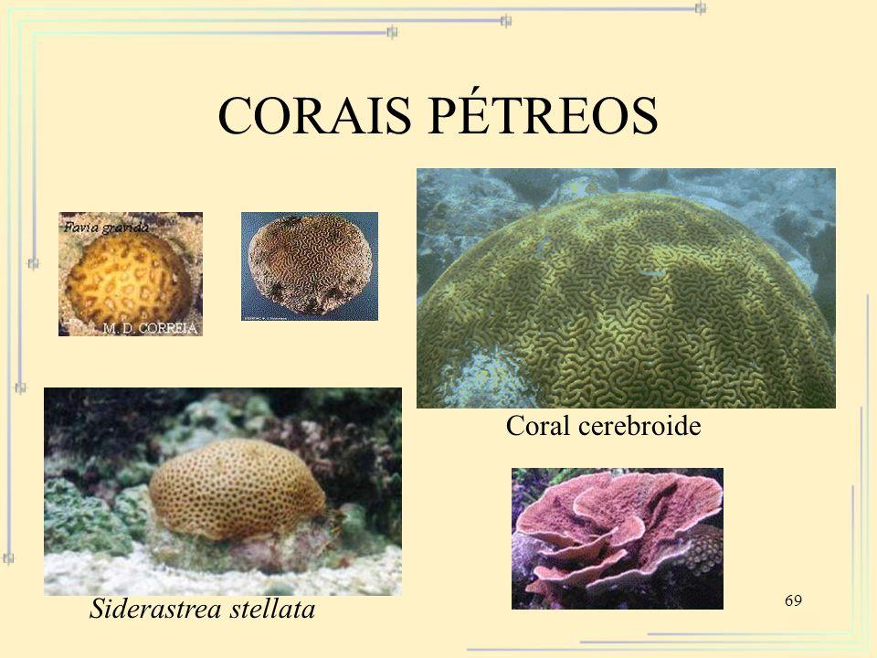 69 CORAIS PÉTREOS Siderastrea stellata Coral cerebroide