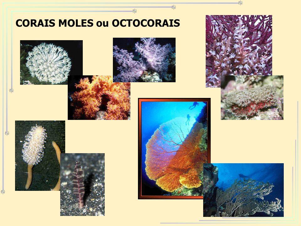 71 CORAIS MOLES ou OCTOCORAIS