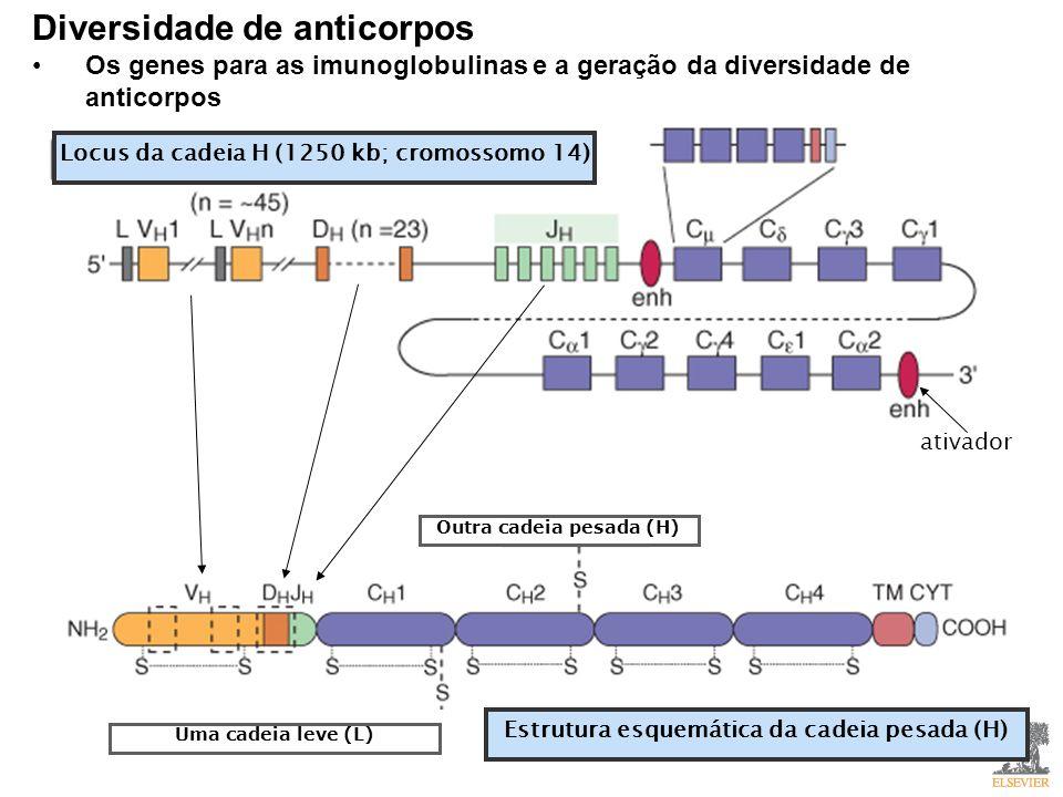 Diversidade de anticorpos Os genes para as imunoglobulinas e a geração da diversidade de anticorpos Locus da cadeia H (1250 kb; cromossomo 14) ativador Outra cadeia pesada (H) Uma cadeia leve (L) Estrutura esquemática da cadeia pesada (H)