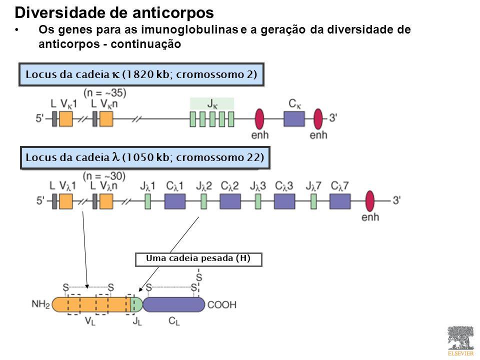 Locus da cadeia (1820 kb; cromossomo 2) Locus da cadeia (1050 kb; cromossomo 22) Uma cadeia pesada (H) Diversidade de anticorpos Os genes para as imunoglobulinas e a geração da diversidade de anticorpos - continuação