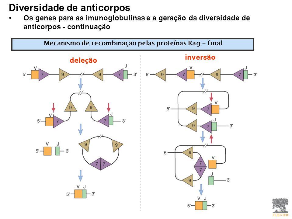 Mecanismo de recombinação pelas proteínas Rag - final Diversidade de anticorpos Os genes para as imunoglobulinas e a geração da diversidade de anticorpos - continuação deleção inversão
