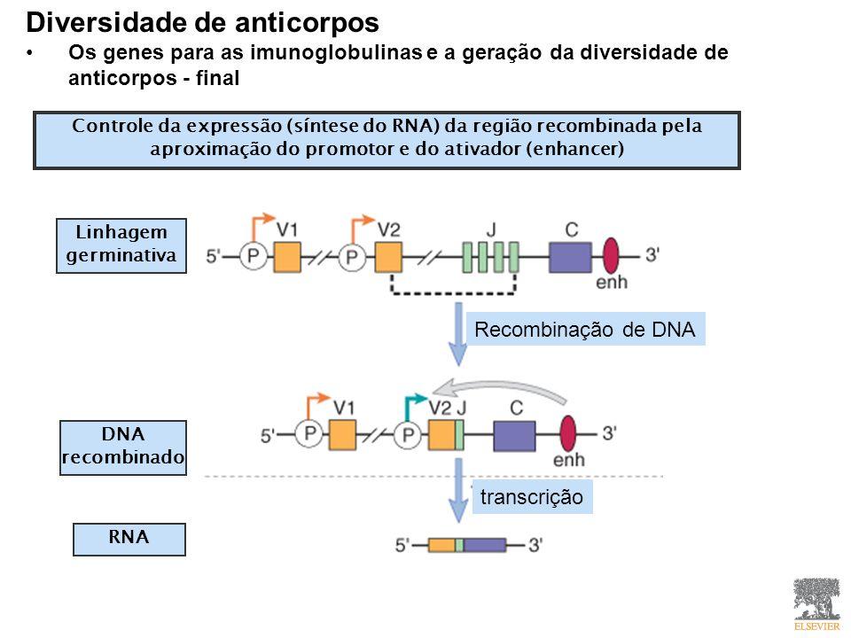 Diversidade de anticorpos Os genes para as imunoglobulinas e a geração da diversidade de anticorpos - final Controle da expressão (síntese do RNA) da região recombinada pela aproximação do promotor e do ativador (enhancer) Linhagem germinativa DNA recombinado RNA Recombinação de DNA transcrição
