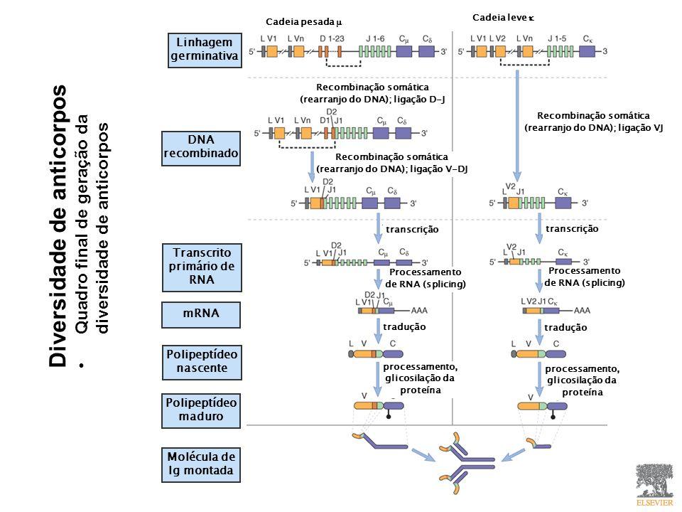 Diversidade de anticorpos Quadro final de geração da diversidade de anticorpos Linhagem germinativa Transcrito primário de RNA mRNA DNA recombinado Polipeptídeo nascente Polipeptídeo maduro Molécula de Ig montada Cadeia pesada Cadeia leve Recombinação somática (rearranjo do DNA); ligação D-J Recombinação somática (rearranjo do DNA); ligação VJ Recombinação somática (rearranjo do DNA); ligação V-DJ transcrição Processamento de RNA (splicing) tradução processamento, glicosilação da proteína