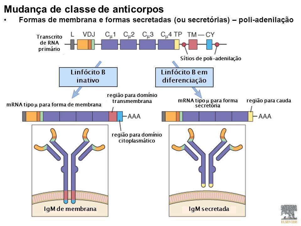 Mudança de classe de anticorpos Formas de membrana e formas secretadas (ou secretórias) – poli-adenilação Linfócito B inativo Linfócito B em diferenciação região para domínio transmembrana mRNA tipo para forma de membrana região para domínio citoplasmático mRNA tipo para forma secretória região para cauda Sítios de poli-adenilação Transcrito de RNA primário IgM de membrana IgM secretada