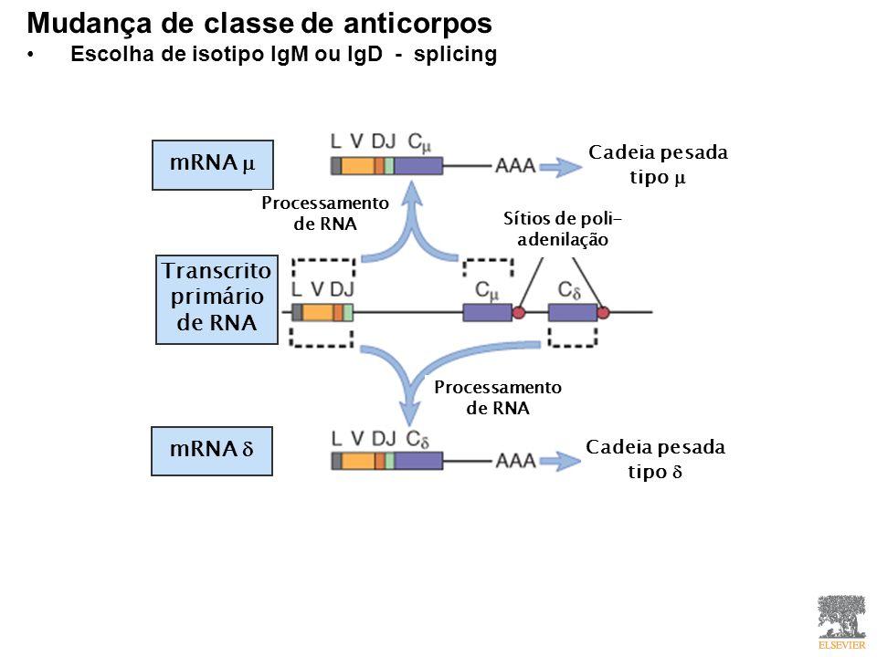 Mudança de classe de anticorpos Escolha de isotipo IgM ou IgD - splicing Transcrito primário de RNA mRNA Cadeia pesada tipo Sítios de poli- adenilação Processamento de RNA
