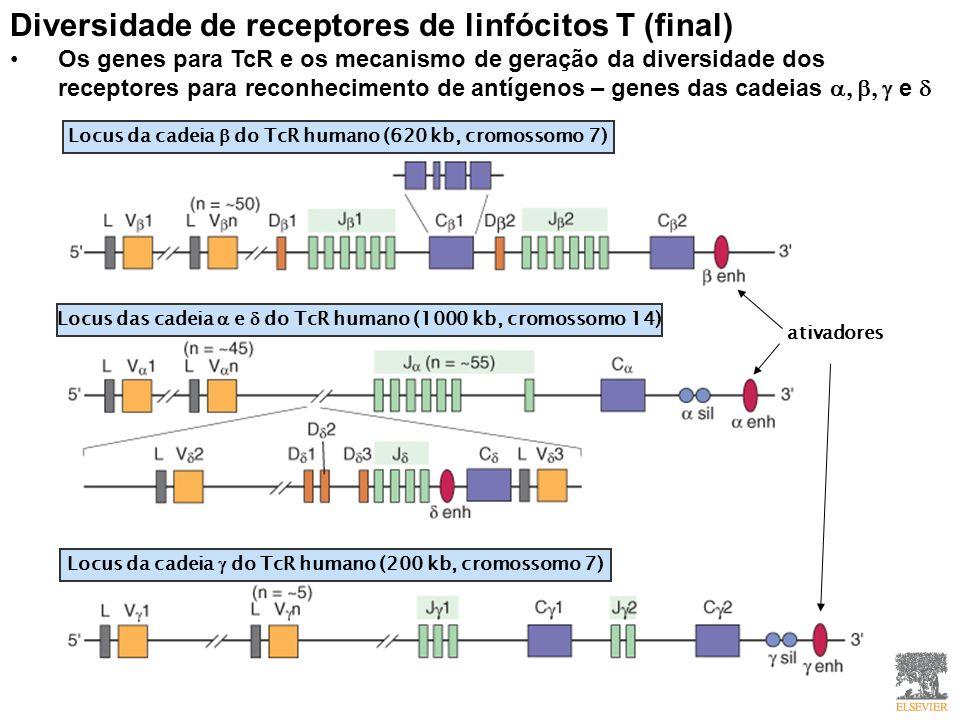 Diversidade de receptores de linfócitos T (final) Os genes para TcR e os mecanismo de geração da diversidade dos receptores para reconhecimento de antígenos – genes das cadeias e Locus da cadeia do TcR humano (620 kb, cromossomo 7) Locus das cadeia e do TcR humano (1000 kb, cromossomo 14) Locus da cadeia do TcR humano (200 kb, cromossomo 7) ativadores