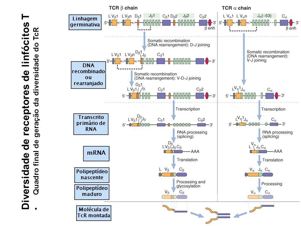 Linhagem germinativa Transcrito primário de RNA mRNA DNA recombinado ou rearranjado Polipeptídeo nascente Polipeptídeo maduro Molécula de TcR montada Diversidade de receptores de linfócitos T Quadro final de geração da diversidade do TcR