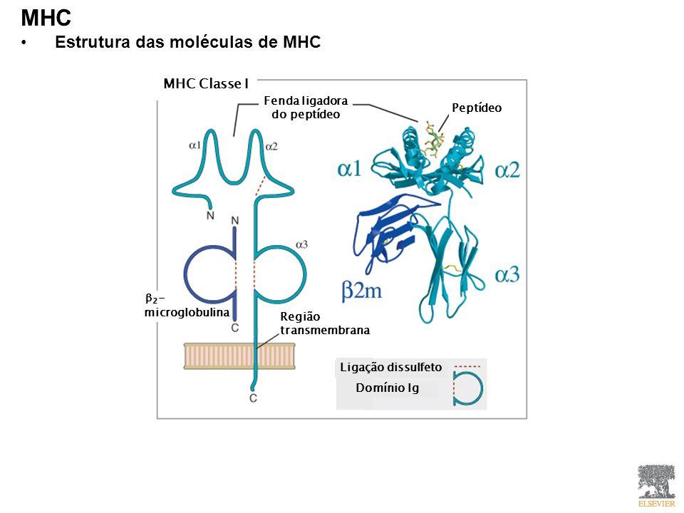 MHC Estrutura das moléculas de MHC MHC Classe I Fenda ligadora do peptídeo Peptídeo Região transmembrana 2 - microglobulina Ligação dissulfeto Domínio