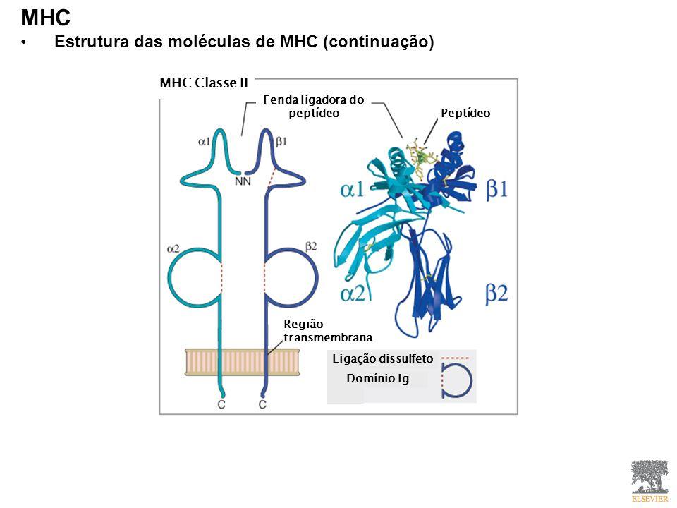 MHC Estrutura das moléculas de MHC (continuação) MHC Classe II Fenda ligadora do peptídeo Peptídeo Ligação dissulfeto Domínio Ig Região transmembrana