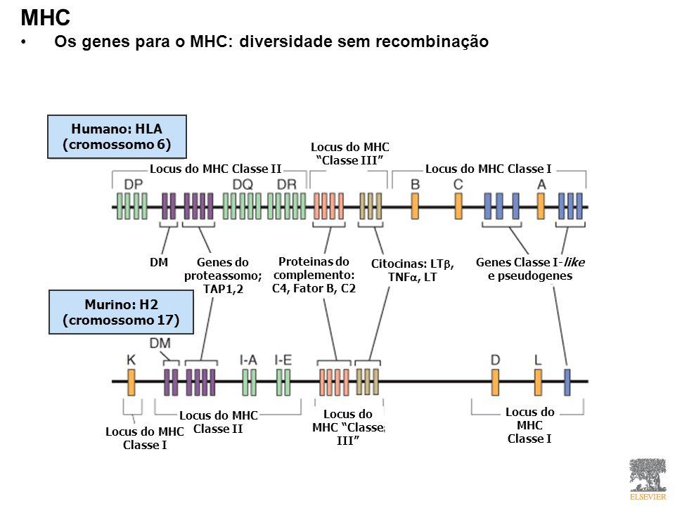 MHC Os genes para o MHC: diversidade sem recombinação Humano: HLA (cromossomo 6) Locus do MHC Classe II Locus do MHC Classe III Locus do MHC Classe I DM Genes do proteassomo: TAP1,2 Proteinas do complemento: C4, Fator B, C2 Genes do proteassomo; TAP1,2 Murino: H2 (cromossomo 17) Citocinas: LT, TNF, LT Genes Classe I-like e pseudogenes Locus do MHC Classe II Locus do MHC Classe III Locus do MHC Classe I