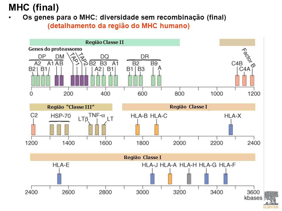 MHC (final) Os genes para o MHC: diversidade sem recombinação (final) (detalhamento da região do MHC humano) Região Classe II Genes do proteassomo Região Classe III Região Classe I