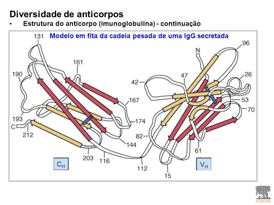 Diversidade de anticorpos Estrutura do anticorpo (imunoglobulina) - continuação Modelo em fita da cadeia pesada de uma IgG secretada CHCH VHVH