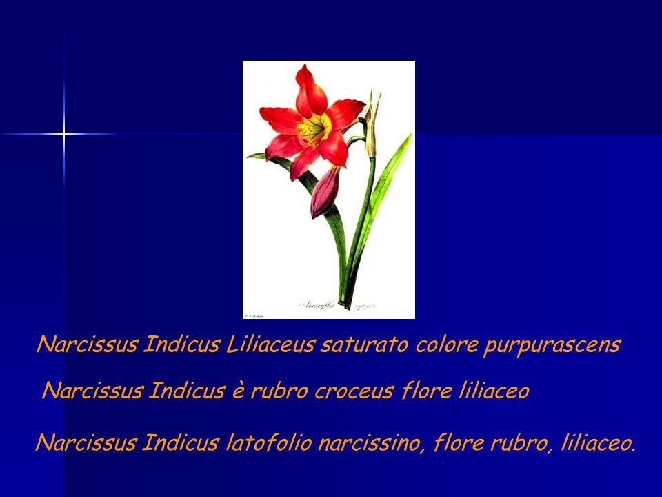 Narcissus Indicus Liliaceus saturato colore purpurascens Narcissus Indicus è rubro croceus flore liliaceo Narcissus Indicus latofolio narcissino, flor