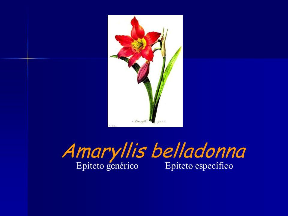 Epíteto genéricoEpíteto específico Amaryllis belladonna