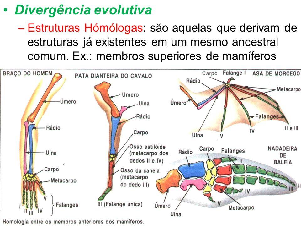 Divergência evolutiva –Estruturas Hómólogas: são aquelas que derivam de estruturas já existentes em um mesmo ancestral comum. Ex.: membros superiores