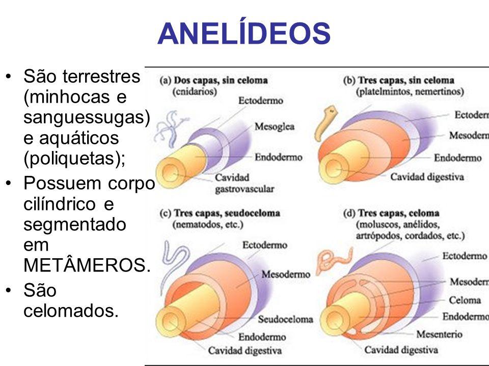 ANELÍDEOS São terrestres (minhocas e sanguessugas) e aquáticos (poliquetas); Possuem corpo cilíndrico e segmentado em METÂMEROS. São celomados.