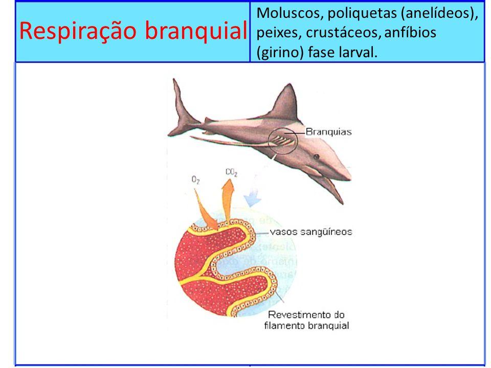Respiração branquial Moluscos, poliquetas (anelídeos), peixes, crustáceos, anfíbios (girino) fase larval.