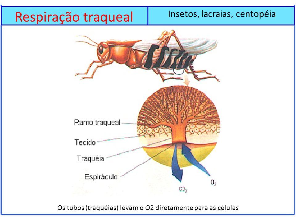 Respiração traqueal Insetos, lacraias, centopéia Os tubos (traquéias) levam o O2 diretamente para as células