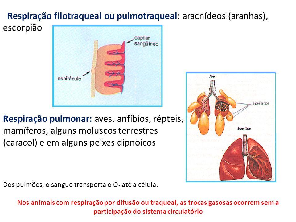 Respiração filotraqueal ou pulmotraqueal: aracnídeos (aranhas), escorpião Respiração pulmonar: aves, anfíbios, répteis, mamíferos, alguns moluscos ter