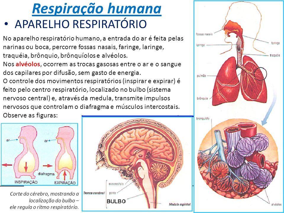 Respiração humana APARELHO RESPIRATÓRIO No aparelho respiratório humano, a entrada do ar é feita pelas narinas ou boca, percorre fossas nasais, faring