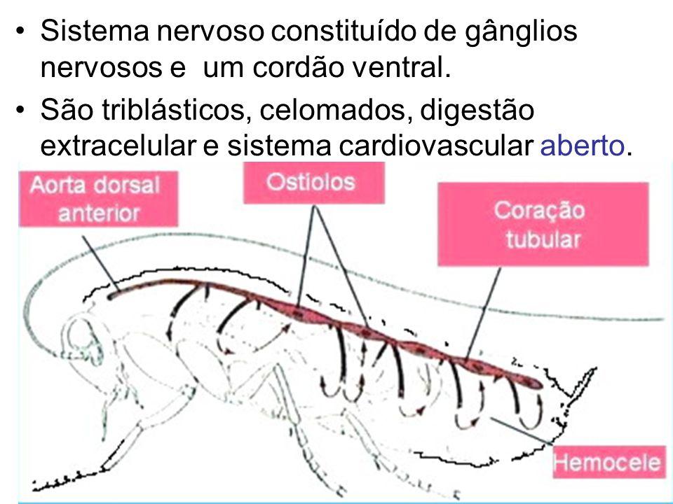 Sistema nervoso constituído de gânglios nervosos e um cordão ventral. São triblásticos, celomados, digestão extracelular e sistema cardiovascular aber