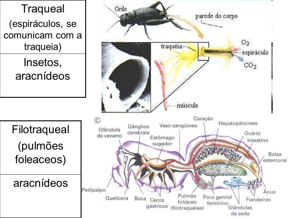 Traqueal (espiráculos, se comunicam com a traqueia) Insetos, aracnídeos Filotraqueal (pulmões foleaceos) aracnídeos