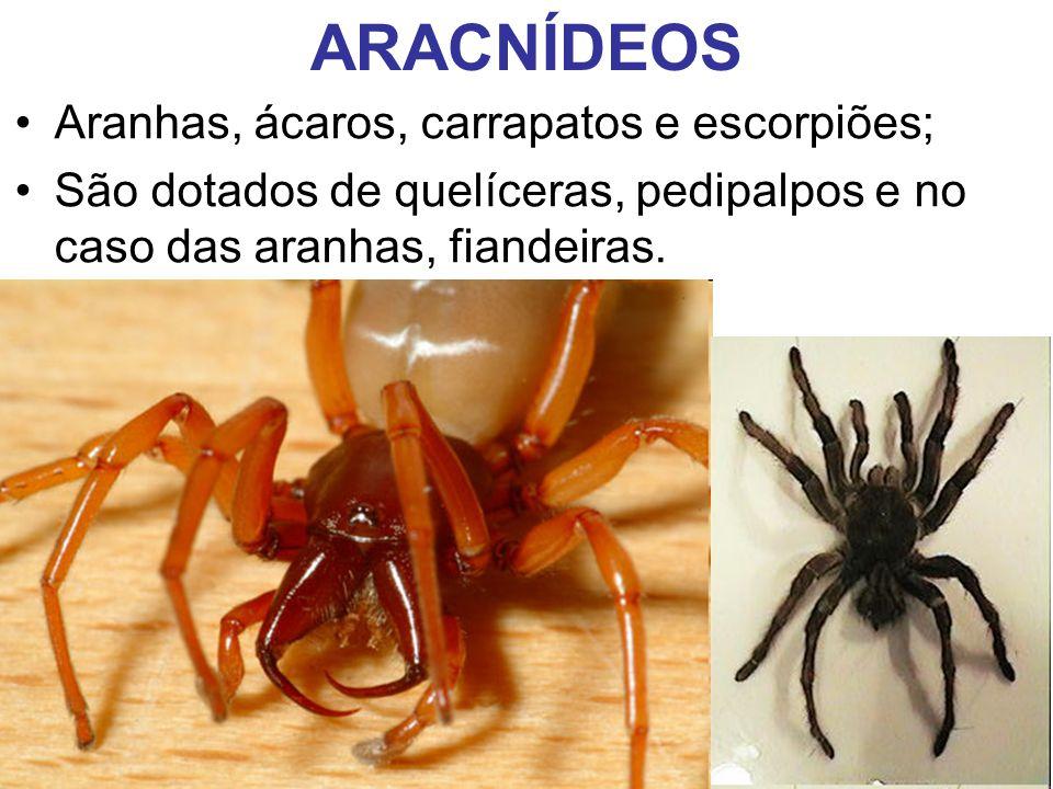 ARACNÍDEOS Aranhas, ácaros, carrapatos e escorpiões; São dotados de quelíceras, pedipalpos e no caso das aranhas, fiandeiras.