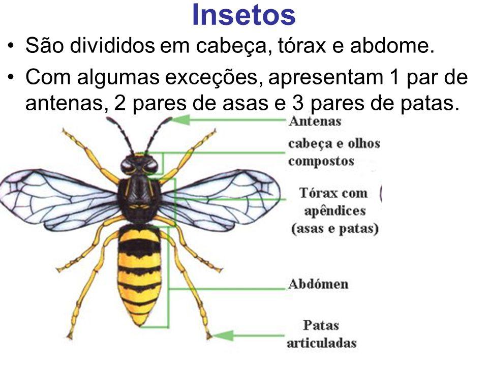 Insetos São divididos em cabeça, tórax e abdome. Com algumas exceções, apresentam 1 par de antenas, 2 pares de asas e 3 pares de patas.