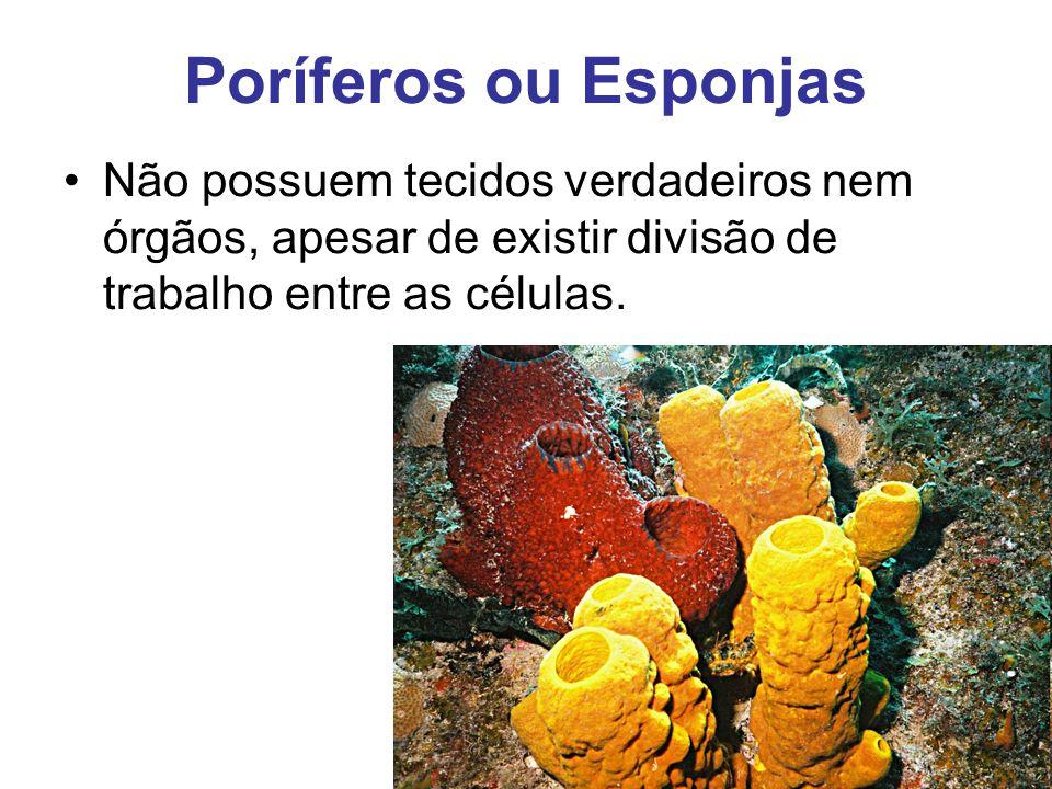 Poríferos ou Esponjas Não possuem tecidos verdadeiros nem órgãos, apesar de existir divisão de trabalho entre as células.