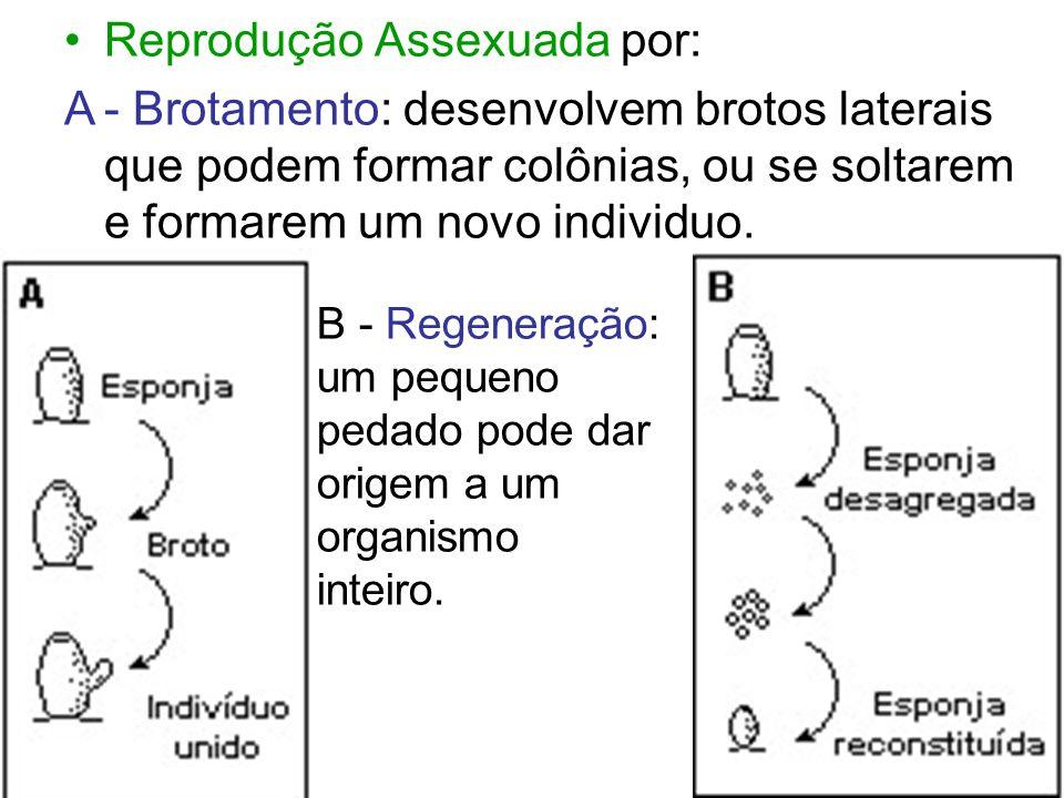 Reprodução Assexuada por: A- Brotamento: desenvolvem brotos laterais que podem formar colônias, ou se soltarem e formarem um novo individuo. B - Regen