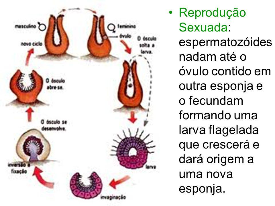 Reprodução Sexuada: espermatozóides nadam até o óvulo contido em outra esponja e o fecundam formando uma larva flagelada que crescerá e dará origem a